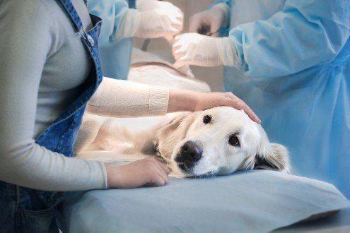 veterinari eseguono esami su labrador