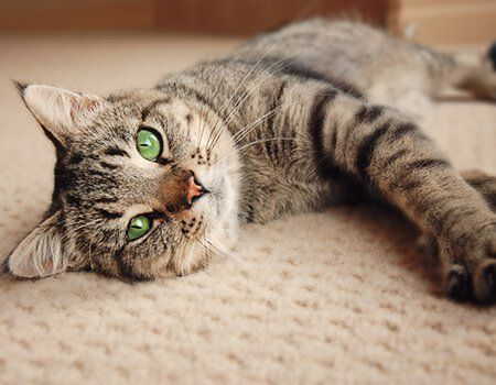 cat laying on a carpet