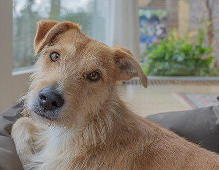 dog on a sofa looking at the camera