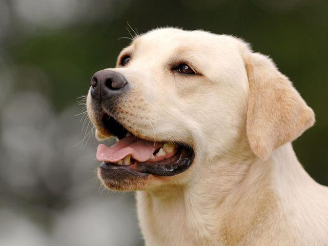 A cute labrador