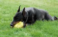 Dog playing with a toy
