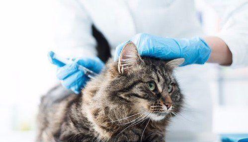 Gatto durante una vaccinazione