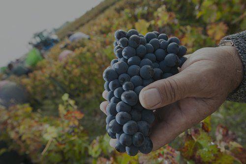 un grappolo di uva scura