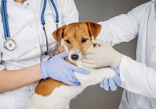 Due veterinari si prendono cura di un cane allo Studio Veterinario Borello Giobbio
