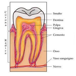 struttura del dente