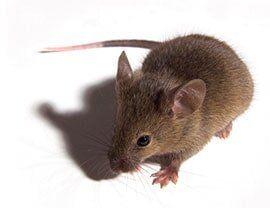 Mite Control — Rat in Rancho Cordova, CA