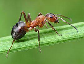 Exterminator Sacramento, CA — Ant in Rancho Cordova, CA