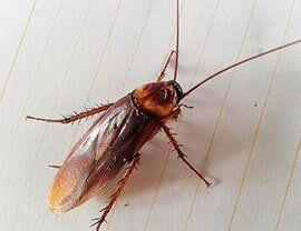 Oak Worms — Cockroach in Rancho Cordova, CA