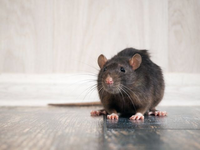 Pest Control — Rats on the Floor in Sacramento, CA