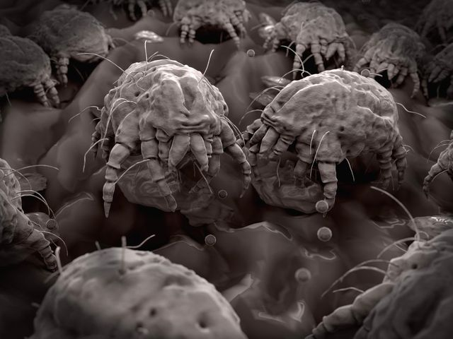 Dust mites feeding on human flakes