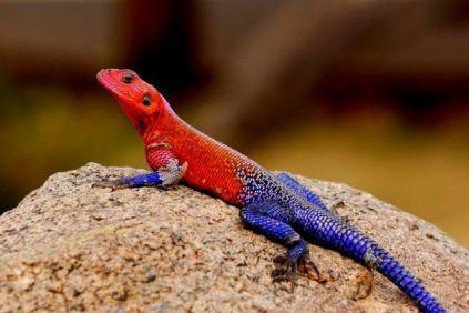 Colurful lizard