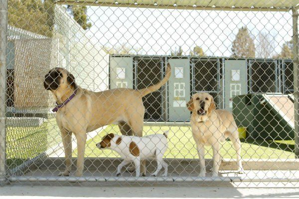 Large and small dogs in a pet boarding facility.