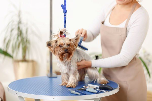 Small Yorkshire terrier sits on the table while being brushed by a professional.