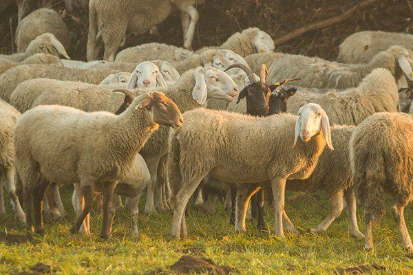 Molte pecore e una capra