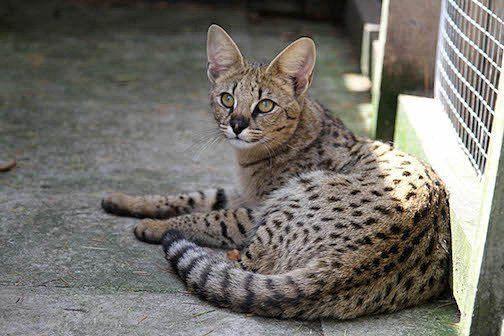 Mawu Savannah Cat
