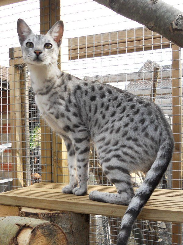 Aalspotz Savannah Cats and Kittens UK
