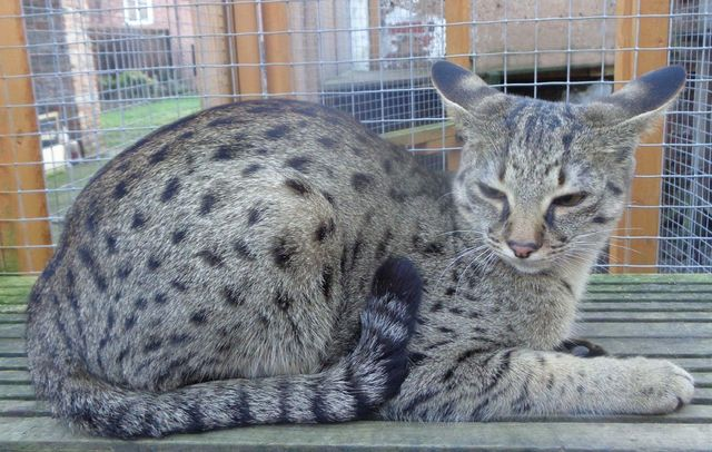 Aalspotz Fakhira Savannah Cat
