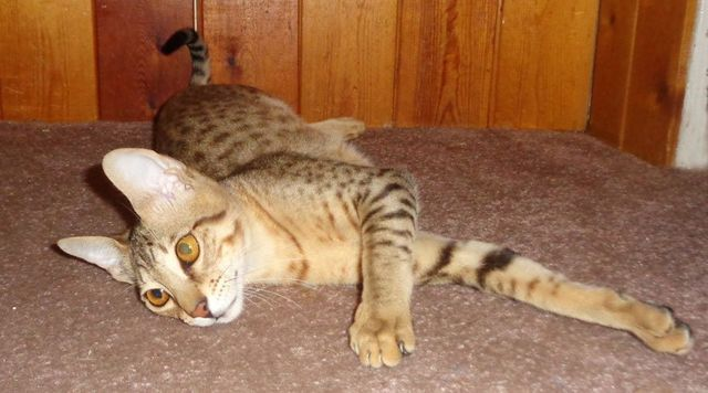 Aalspotz Loopy Lou Savannah Cat