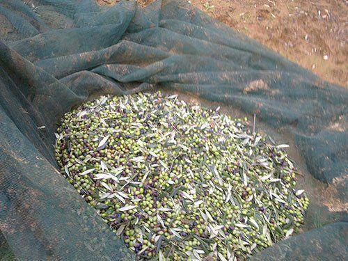 olive raccolte per fare l'olio
