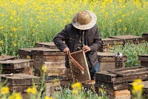 apicoltore in campo con api
