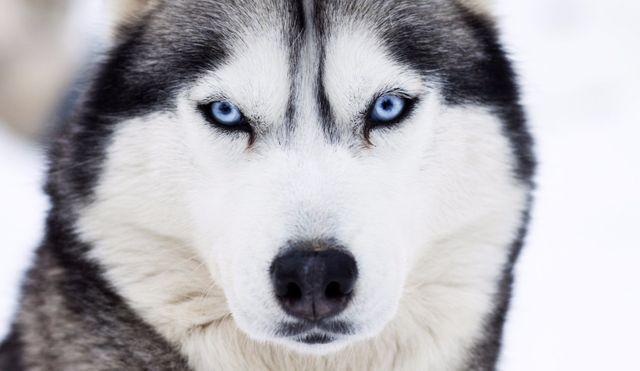 Primo piano sugli occhi azzurri di un cane
