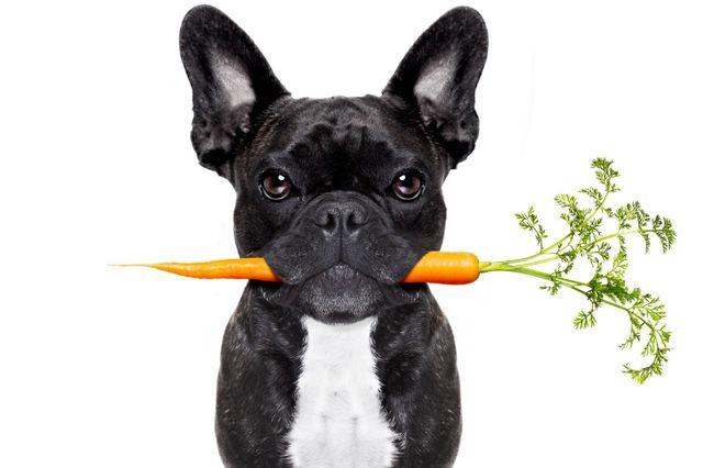 Bulldog con carota in bocca