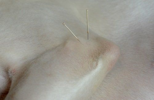 Cane con due aghi di agopuntura