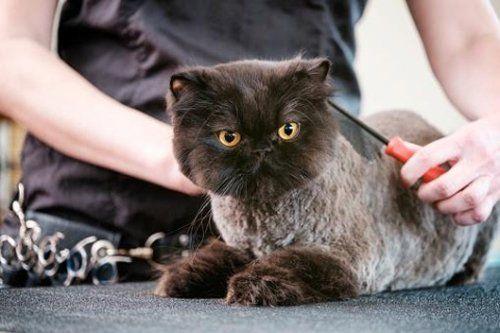 Un gatto tosato