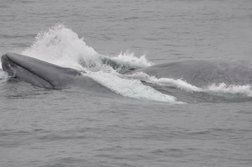 blue whales lunging