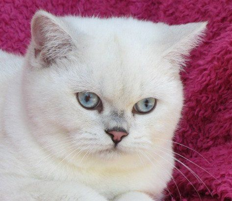 Gatil Spiritland, British Shorthair