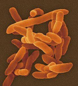 Arthrobacteria