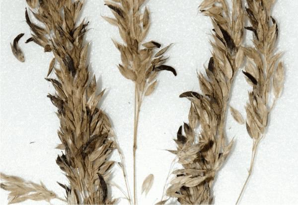 Ergot alkaloids (Claviceps purpurea)