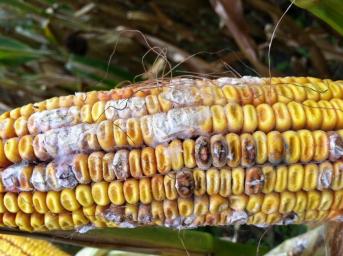 Fumonisins_fusarium on corn