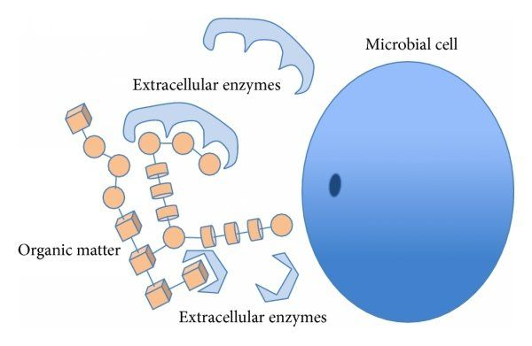 Microbial extracellular enzymes
