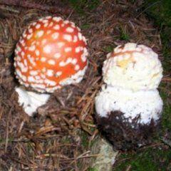 analisi funghi velenosi