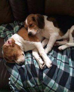 Beagles resting