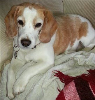 lemon Beagle, female