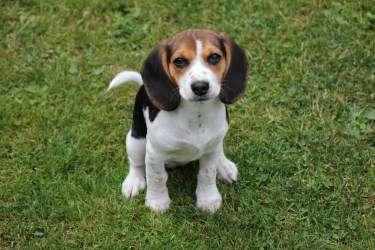 12 week old Beagle