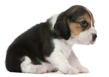 3 week old Beagle baby puppy