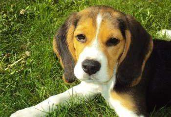 Beagle puppy on green grass