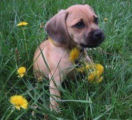 Puggle Beagle and Pug dog mix