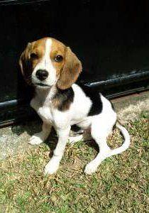 Profile of Beagle's tail
