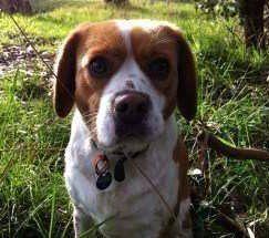 Beaglier Beagle hybrid dog