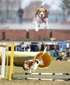 beagle-compared-to-basset-hound