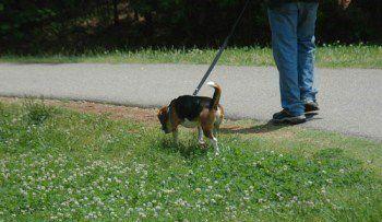 Beagle being taken for a walk