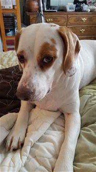 Beagle 2 years old