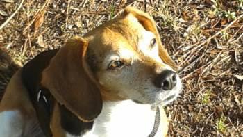 9 year old Beagle