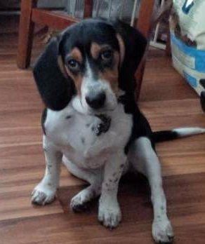 Beagle named Barnaby