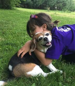 Beagle puppy being hugged by young girl