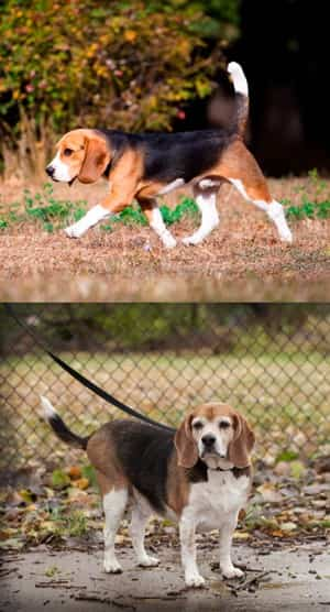 How to Help a Beagle Lose Weight